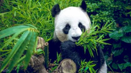 4 Days Classic Chengdu & Giant Pandas