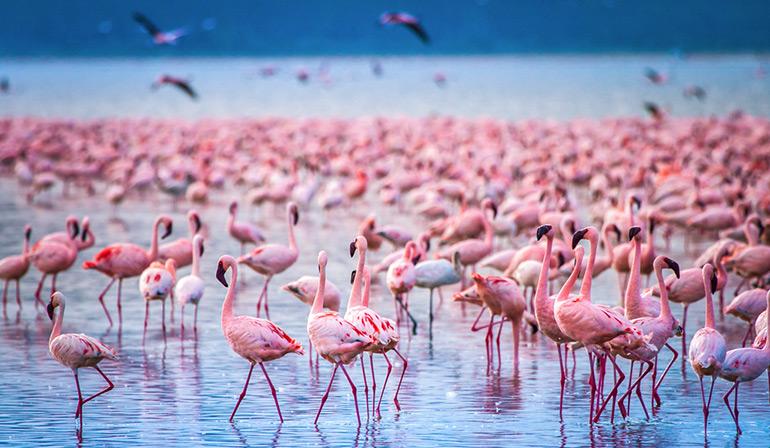 ทัวร์เคนย่า แทนซาเนีย ชมความยิ่งใหญ่ทางธรรมชาติกับการย้ายถิ่นฐานของฝูงวิลเดอร์บีชนับล้านตัว ทะเลสาบสีชมพูที่อยู่อาศัยของนกฟลามิงโก้