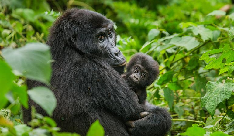 ทัวร์แอฟริกา ยูกันดา รวันดา สัมผัสประสบการณ์ความน่ารักของฝูงกอริลล่าภูเขาที่อาศัยอยู่ตามธรรมชาติ ตามรอยครอบครัวชิมแปนซี